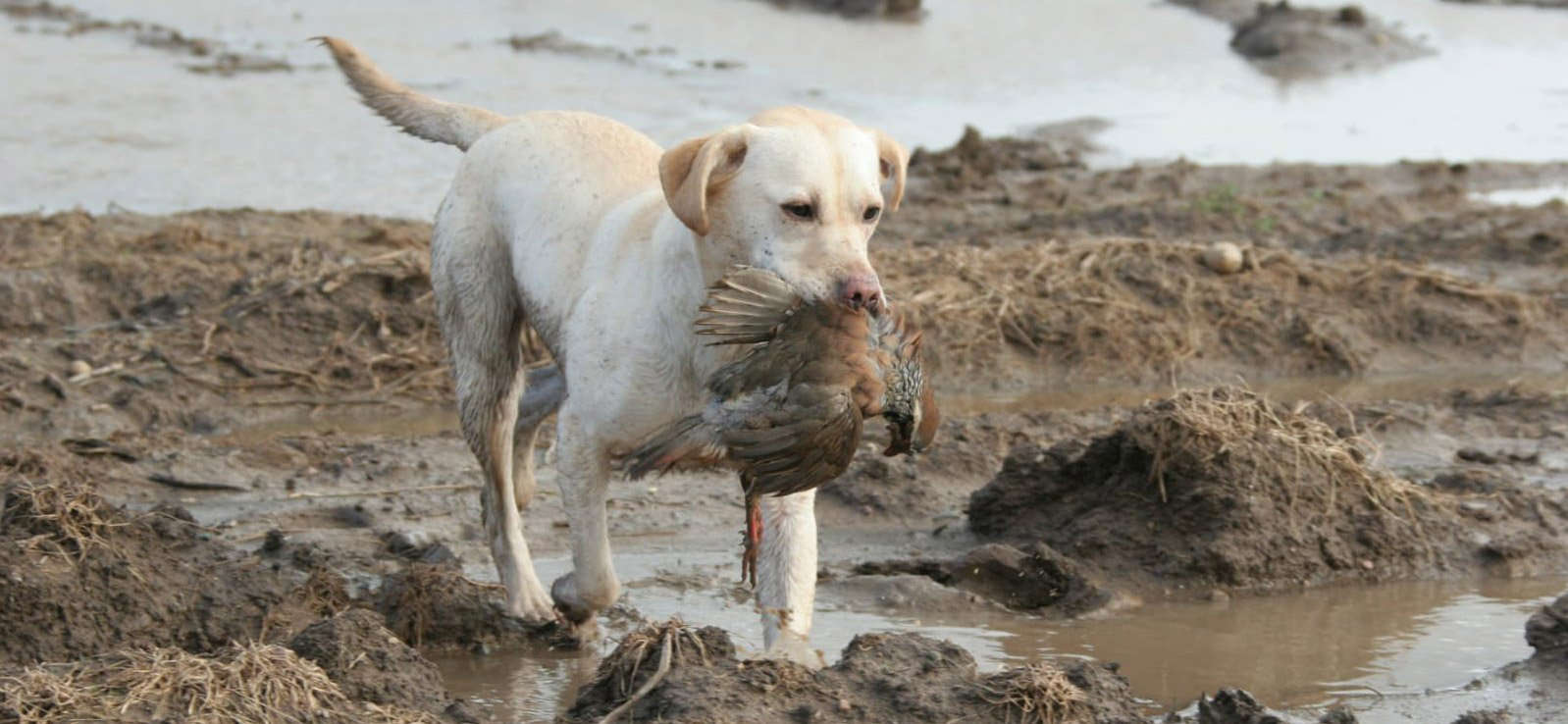 Gundog retrieving bird banner