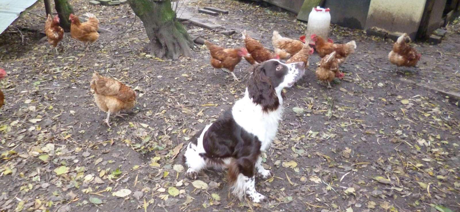 Gundog training in the chicken coop